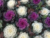 Roze Kool Royalty-vrije Stock Fotografie