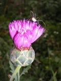 Roze korenbloem en spinzitting op het stock afbeeldingen