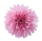Roze korenbloemhoofd stock foto's