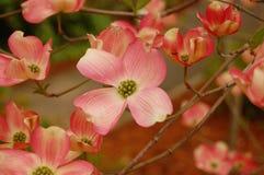 Roze Kornoelje stock afbeelding