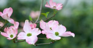 Roze kornoeljebloei royalty-vrije stock fotografie