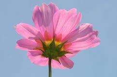 Roze Kosmos Stock Foto