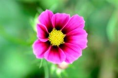 Roze Kosmos. Royalty-vrije Stock Afbeeldingen