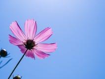 Roze kosmos onder zonneschijn en blauwe hemel Stock Afbeelding