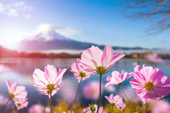Roze kosmosbloem die met doorzichtig bij bloemblaadje bloeien stock afbeelding