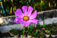 Roze Kosmosbloem met Vage Groene Achtergrond royalty-vrije stock fotografie