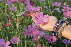 Roze kosmosbloem op hand Royalty-vrije Stock Afbeeldingen