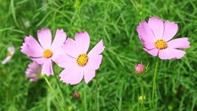 Roze kosmosbloemen stock videobeelden