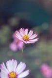 Roze kosmosbloemen stock foto