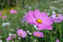 Roze kosmosbloemen Royalty-vrije Stock Afbeeldingen