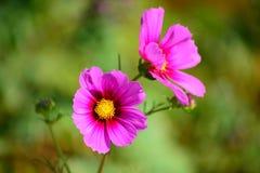 Roze kosmosbloemen Stock Foto's