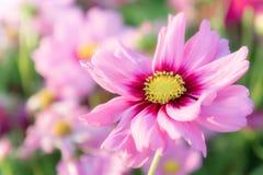 Roze kosmosbloemen, de bloemen van de madeliefjebloesem in de tuin royalty-vrije stock afbeelding