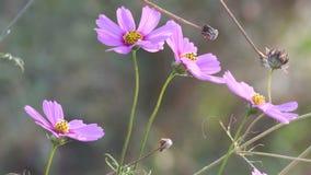 Roze kosmosbloemen die met de wind schudden stock video