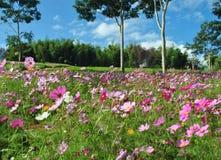 Roze kosmosbloemen op het gebied met blauwe hemel royalty-vrije stock afbeeldingen