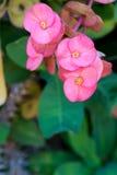 Roze kroon van doornen Stock Foto's