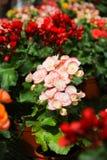 Roze Kroon van doornen in de tuin stock foto