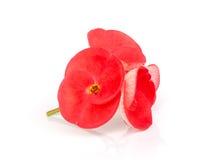 Roze kroon van doornenbloem royalty-vrije stock foto's