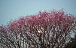 Roze lapacho Stock Afbeeldingen