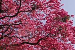 Roze lapachoboom Stock Afbeelding
