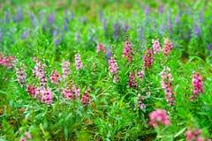 Roze Lavendel royalty-vrije stock foto