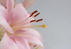 Roze Lelie stock fotografie