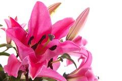 Roze Lelie Stock Afbeeldingen