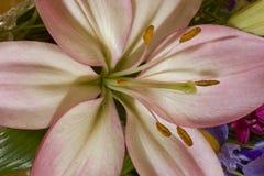 Roze Lelie Stock Afbeelding