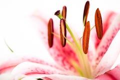 Roze Lelie Stock Foto