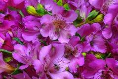 Roze lelie Royalty-vrije Stock Foto