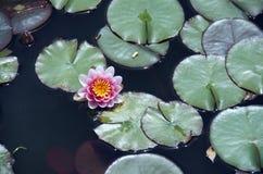 Roze lelie Stock Foto's