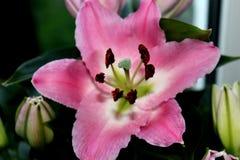 Roze lelie Royalty-vrije Stock Foto's