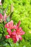 Roze Lelie 2 Stock Foto