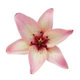 Roze lelie die op een witte achtergrond wordt geïsoleerd Royalty-vrije Stock Afbeeldingen
