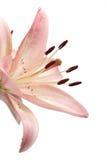 Roze lelie op wit Royalty-vrije Stock Foto's