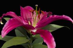 Roze lelie op zwarte Royalty-vrije Stock Fotografie
