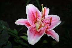 Roze lelie op zwarte achtergrond royalty-vrije stock foto