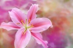 Roze lelie in zachte kleurenstijl voor Abstracte achtergrond Stock Afbeelding