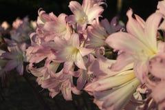 Roze leliebloemen bij tuin royalty-vrije stock afbeeldingen