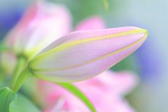 Roze leliedroom Royalty-vrije Stock Fotografie