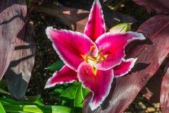 roze lelies Royalty-vrije Stock Foto