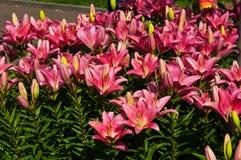 Roze lelies in de de zomertuin Stock Afbeeldingen