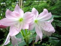 Roze lelies Macro Royalty-vrije Stock Fotografie