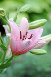 Roze lilly Royalty-vrije Stock Afbeeldingen