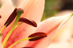 Roze lilly Stock Fotografie