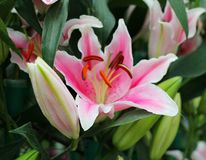 Roze lilly Stock Afbeelding