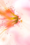Roze lilly Stock Foto
