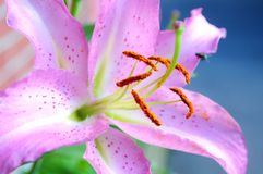 Roze lilly royalty-vrije stock afbeelding