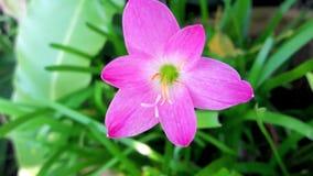 Roze Lily Leaf Royalty-vrije Stock Foto's
