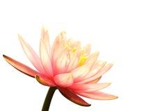 Roze Lotus Royalty-vrije Stock Foto