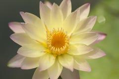 Roze Lotus Stock Foto's